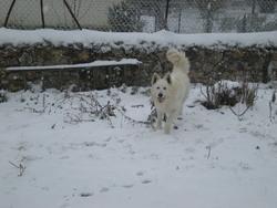 Guest, chien Berger blanc suisse