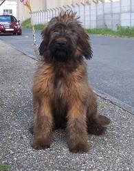 Gueule D'Amour, chien Berger de Brie