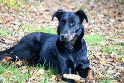 Guevarra Tche De Euskal Herria, chien Beauceron