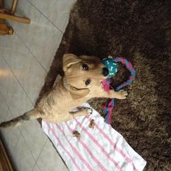 Kainy, chien Basset des Alpes