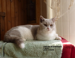 Gueysha, chat British Shorthair
