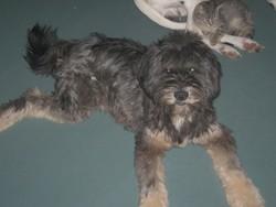 Gugus, chien Terrier tibétain