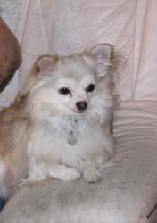 Gugus, chien Chihuahua