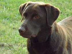 Guido, chien Labrador Retriever