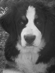 Guilty, chien Bouvier bernois
