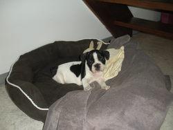 Guimauve, chien Bouledogue français