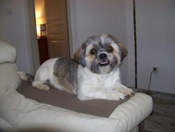 Guimauve, chien Shih Tzu