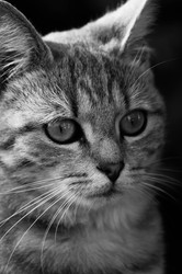 Guimauve, chat Européen