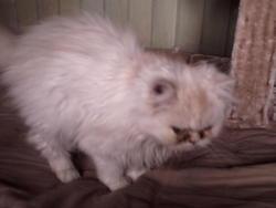 Guimauve, chat Persan
