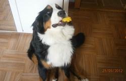 Guimauve, chien Bouvier bernois