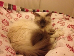 Guimauve , chat Birman