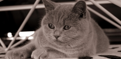 Guimauve, chat British Shorthair