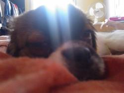 Guimauve, chien Épagneul tibétain