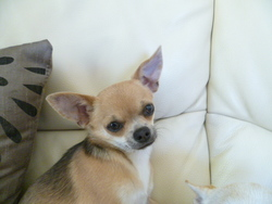 Guimauve, chien Chihuahua