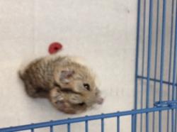 Guimauve, rongeur Hamster