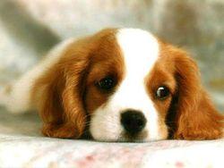Guimauve, chien