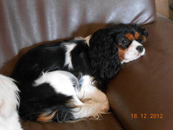 Guimauve, chien Cavalier King Charles Spaniel