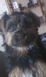 Guimauve, chien Yorkshire Terrier