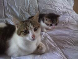 Guimauve , chat