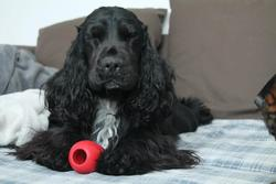 Guimauve, chien Cocker anglais