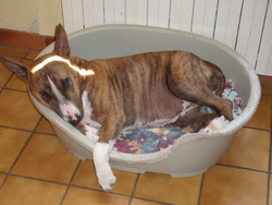 Guimauve, chien Bull Terrier