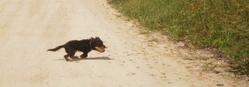 Guimli, chien Jagdterrier