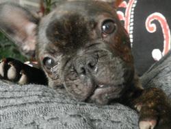 Guimo, chien Bouledogue français