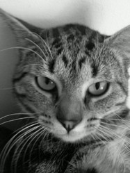 Guimy, chat Européen