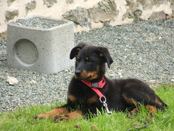 Guiness, chien Beauceron