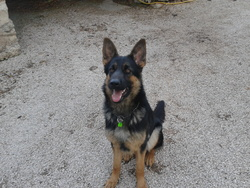 Guiness, chien Berger allemand