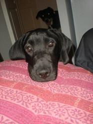 Guiness, chien Braque allemand à poil court