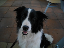 Guiness, chien Border Collie