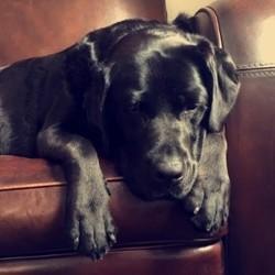 Guiness, chien Labrador Retriever