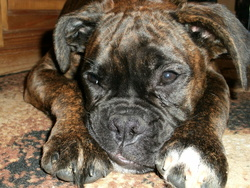 Guiness, chien Boxer