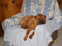 Guiness, chien Shar Pei
