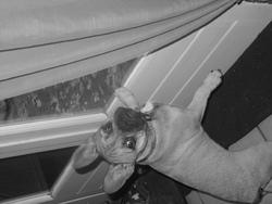 Guiness, chien Bouledogue français