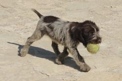 Guinesse, chien Griffon à poil dur Korthals
