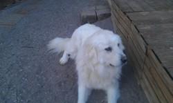Guinness, chien Mâtin des Pyrénées