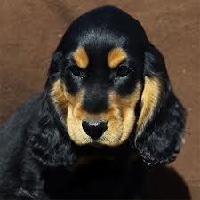 Guinness, chien Cocker anglais
