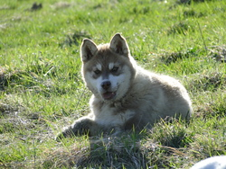 Guinouk, chien Malamute de l'Alaska