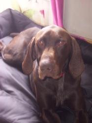 Guip, chien Braque allemand à poil court
