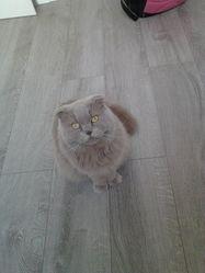 Guirlande, chat Scottish Fold à poil long