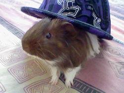 Guismo, rongeur Cochon d'Inde