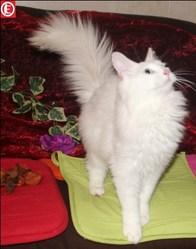 Guismo, chat Angora turc
