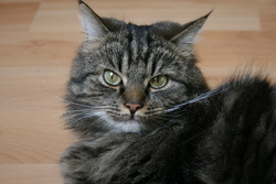 Guismo, chat Maine Coon