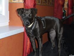 Guismo, chien Pinscher