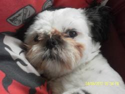 Guismo, chien Shih Tzu
