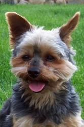 Guismo, chien Yorkshire Terrier