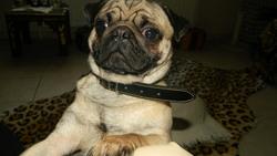 Guismo, chien Carlin