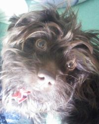 Guismo, chien Griffon belge
